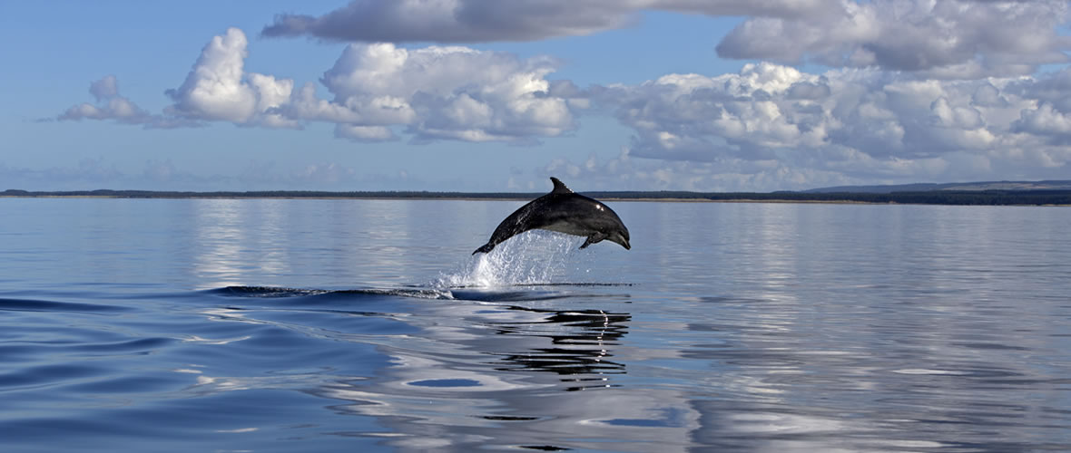 Bottlenose dolphin on a calm sea