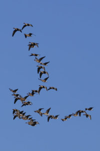 Pink-footed geese